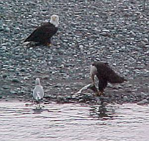 Chilkat River eagles