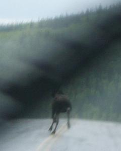 ass of a moose in the road