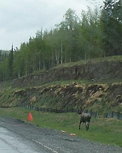moose beside road
