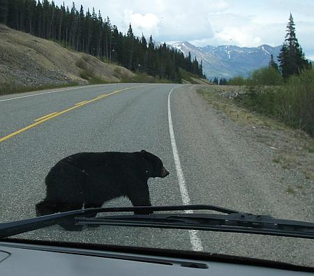 bear crosses road